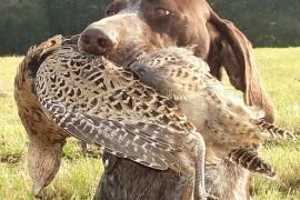 Ловни кучета – Германски късокосмест птичар