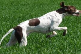 Ловни кучета – Английски пойнтер