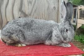 Зайци великани