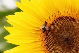 Национална програма по пчеларство 2017 стартира днес