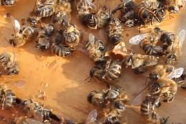 Защо умират пчелите през зимата?